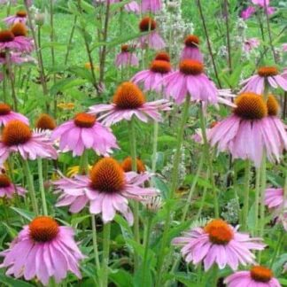 Echinacea Herbal Tea Infusion
